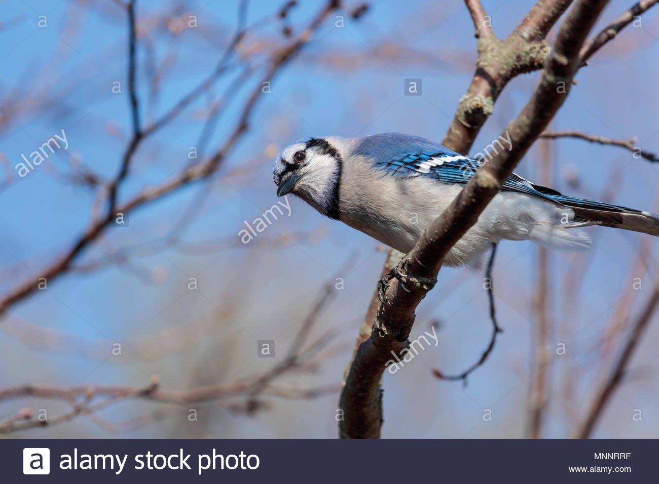 Blue jay Cyanocitta cristata showing structural coloration - Stock Image