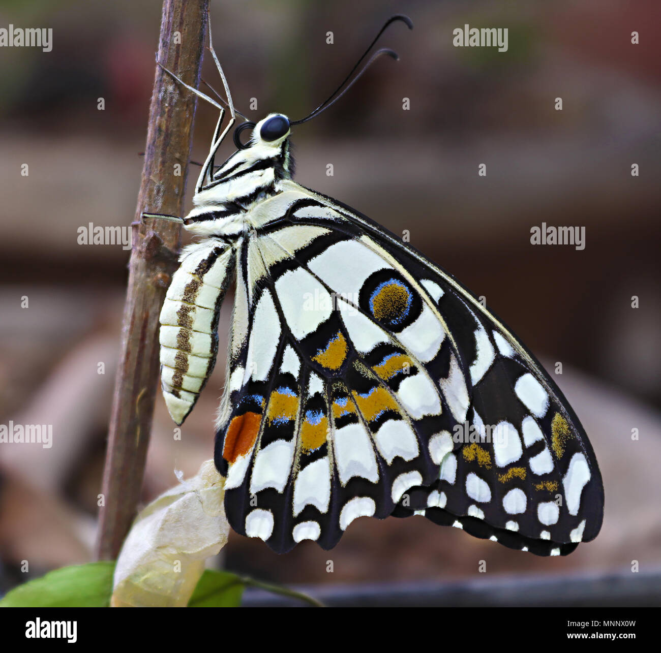 Freshly emerged Lime Butterfly ready to fly - Stock Image