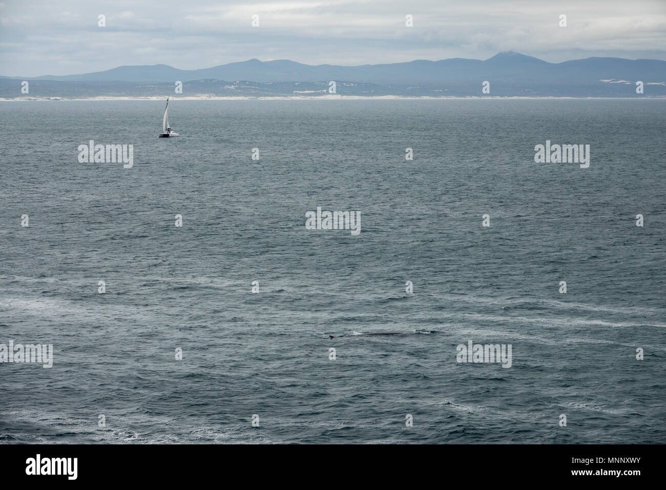 Bryde's Whale on the surface of Walker Bay, with small yacht in the background, Hermanus, South Africa - Stock Image