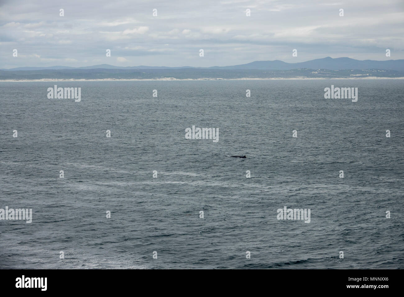 Bryde's Whale on the surface of Walker Bay,  Hermanus, South Africa - Stock Image