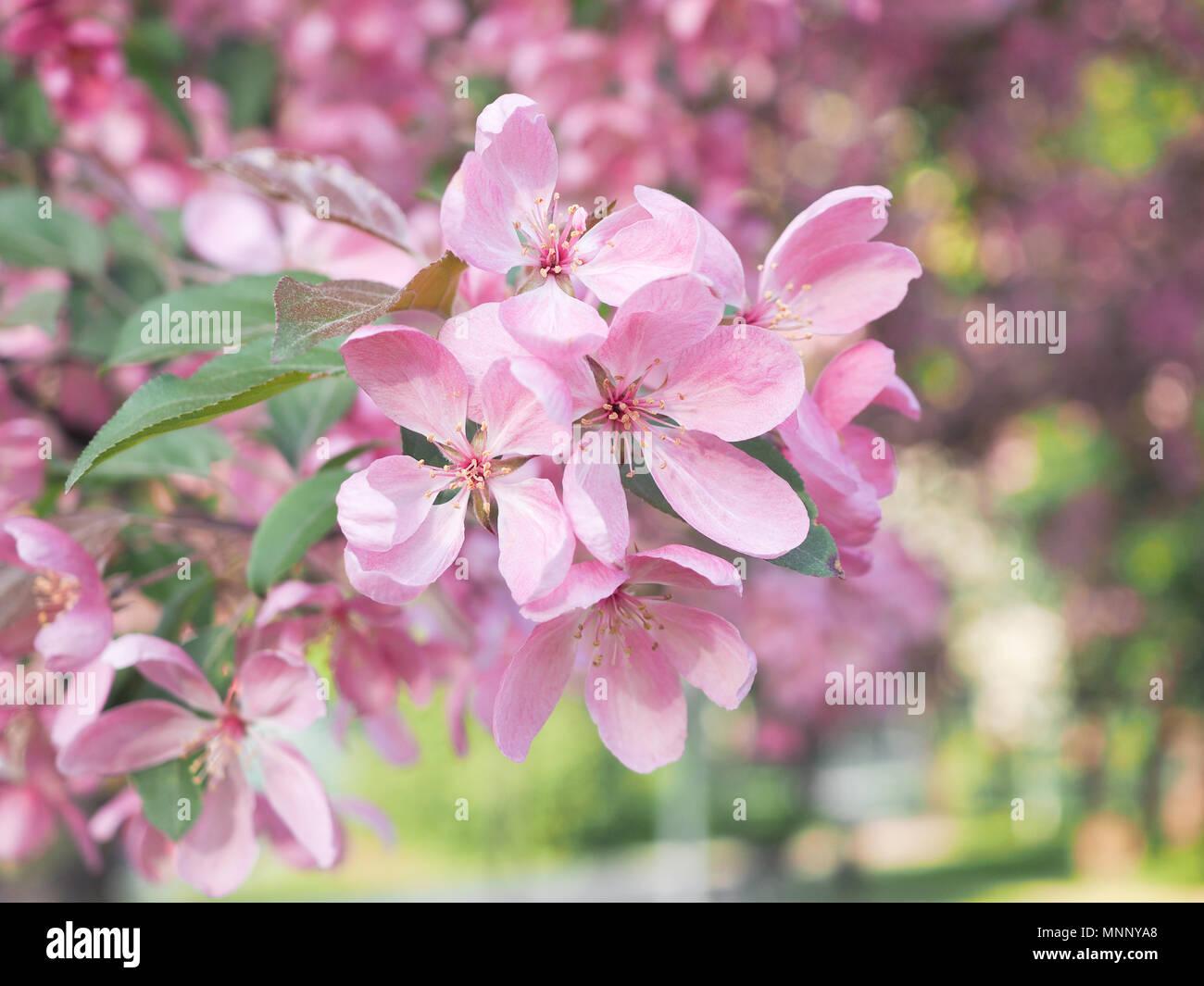 Beautiful And Rare Pink Apple Flowers Macro Stock Photo 185493904