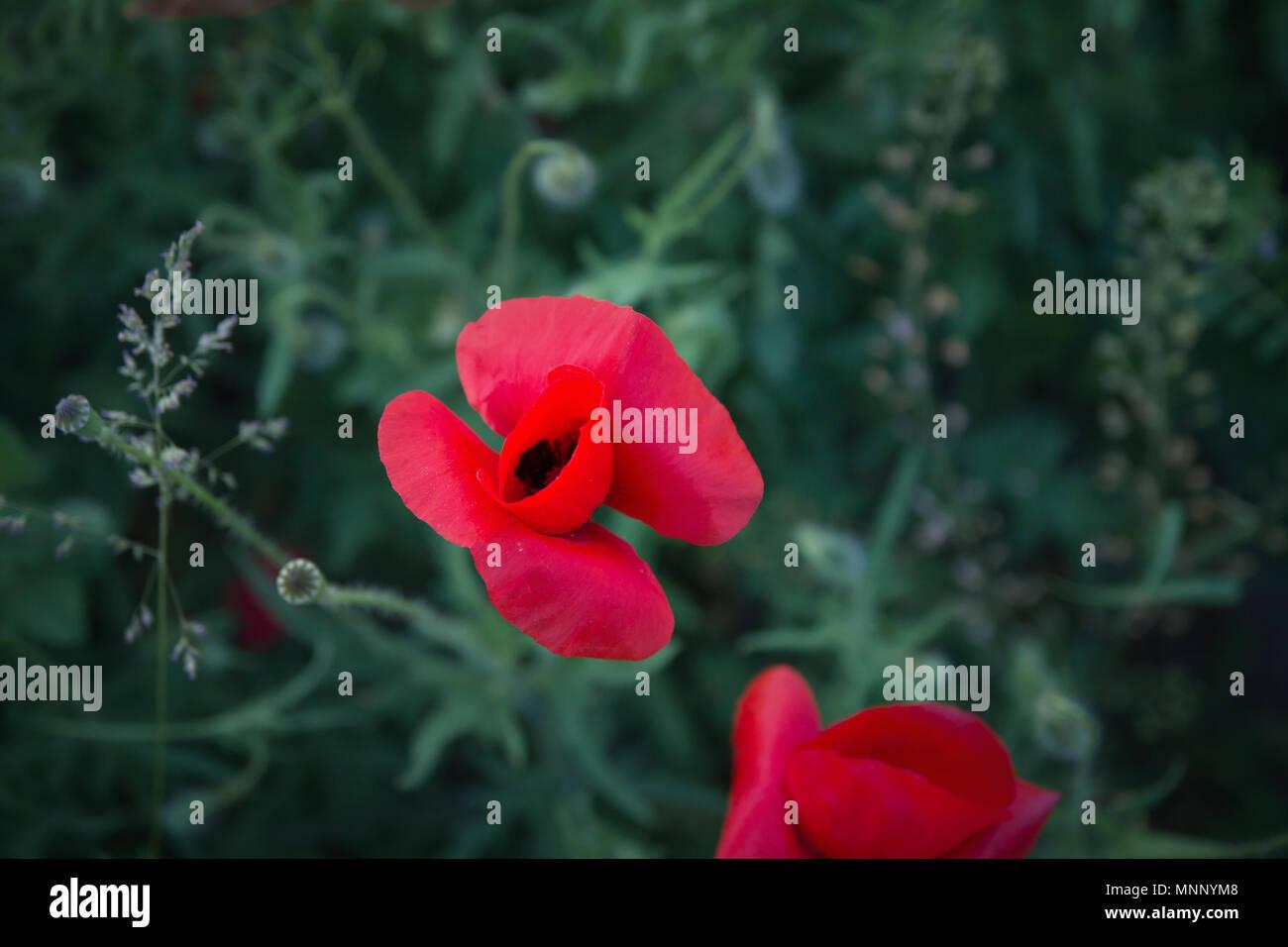 Wild Poppies Flowers On Meadow Stock Photo 185494184 Alamy