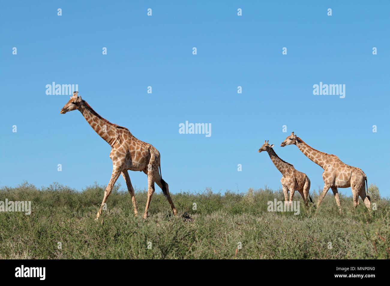 Giraffes (Giraffa camelopardalis) against a blue sky, Kalahari desert, South Africa Stock Photo