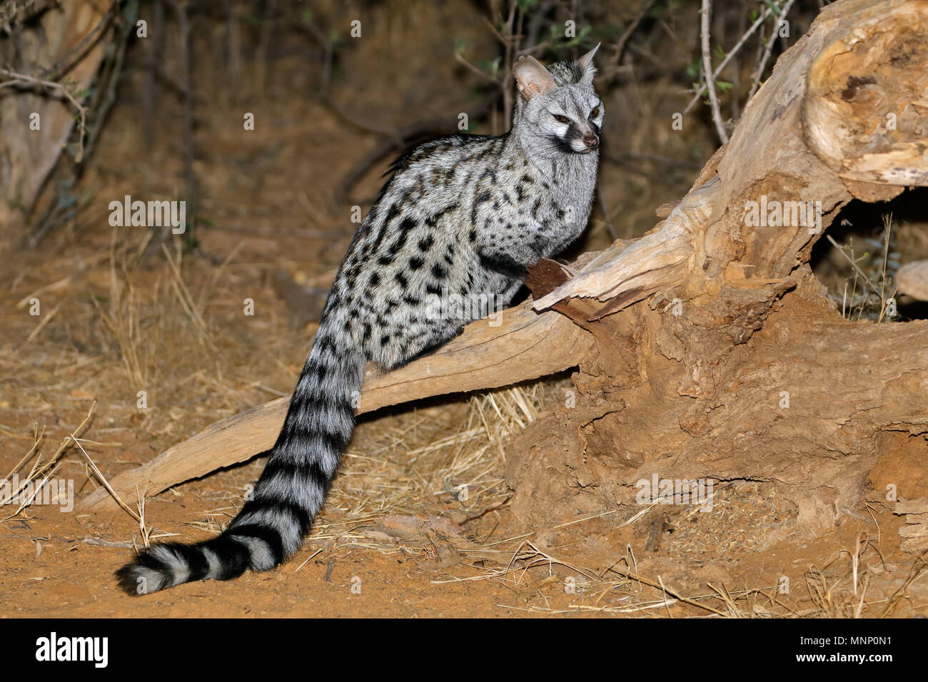 Large-spotted genet (Genetta tigrina) in natural habitat, South Africa Stock Photo