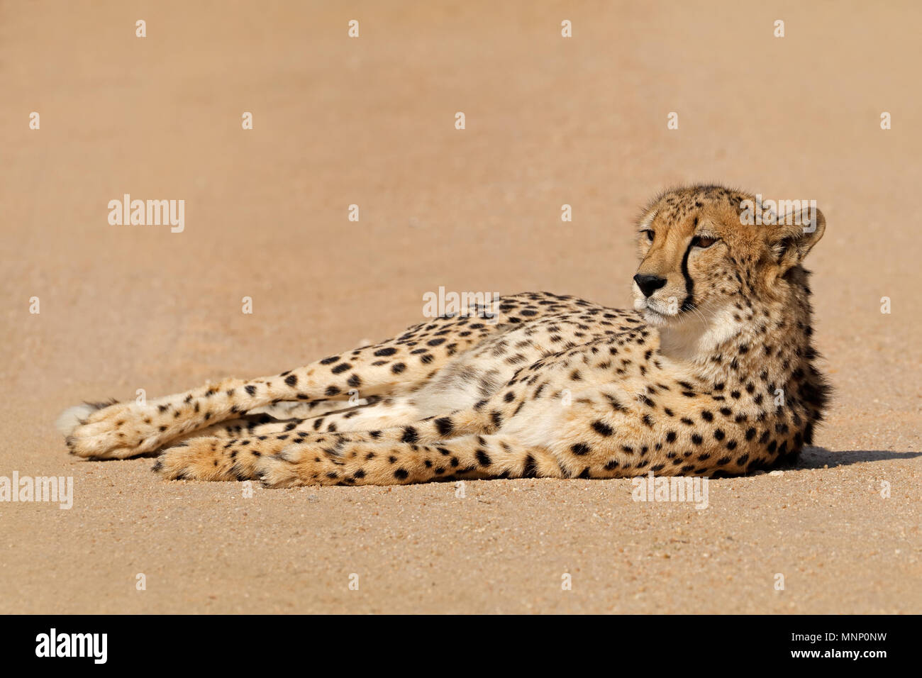 A relaxed cheetah (Acinonyx jubatus) lying down, South Africa - Stock Image