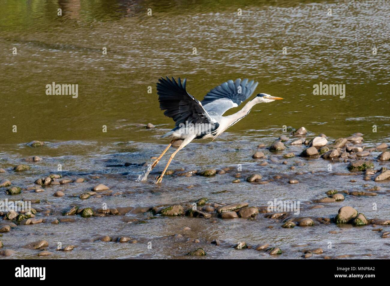 River Lune, Lancaster, United Kingdom,  18th May 2018.                           Grey Heron taked flight from the River Lune Credit: Photographing_North/Alamy Live News - Stock Image