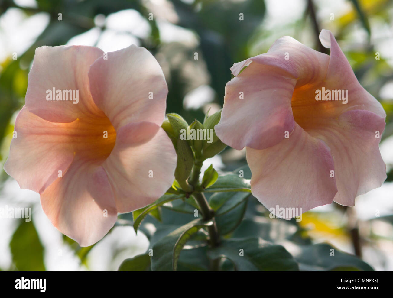 Allamanda Is Perennial Flowering Plant And Commonly Known As Golden