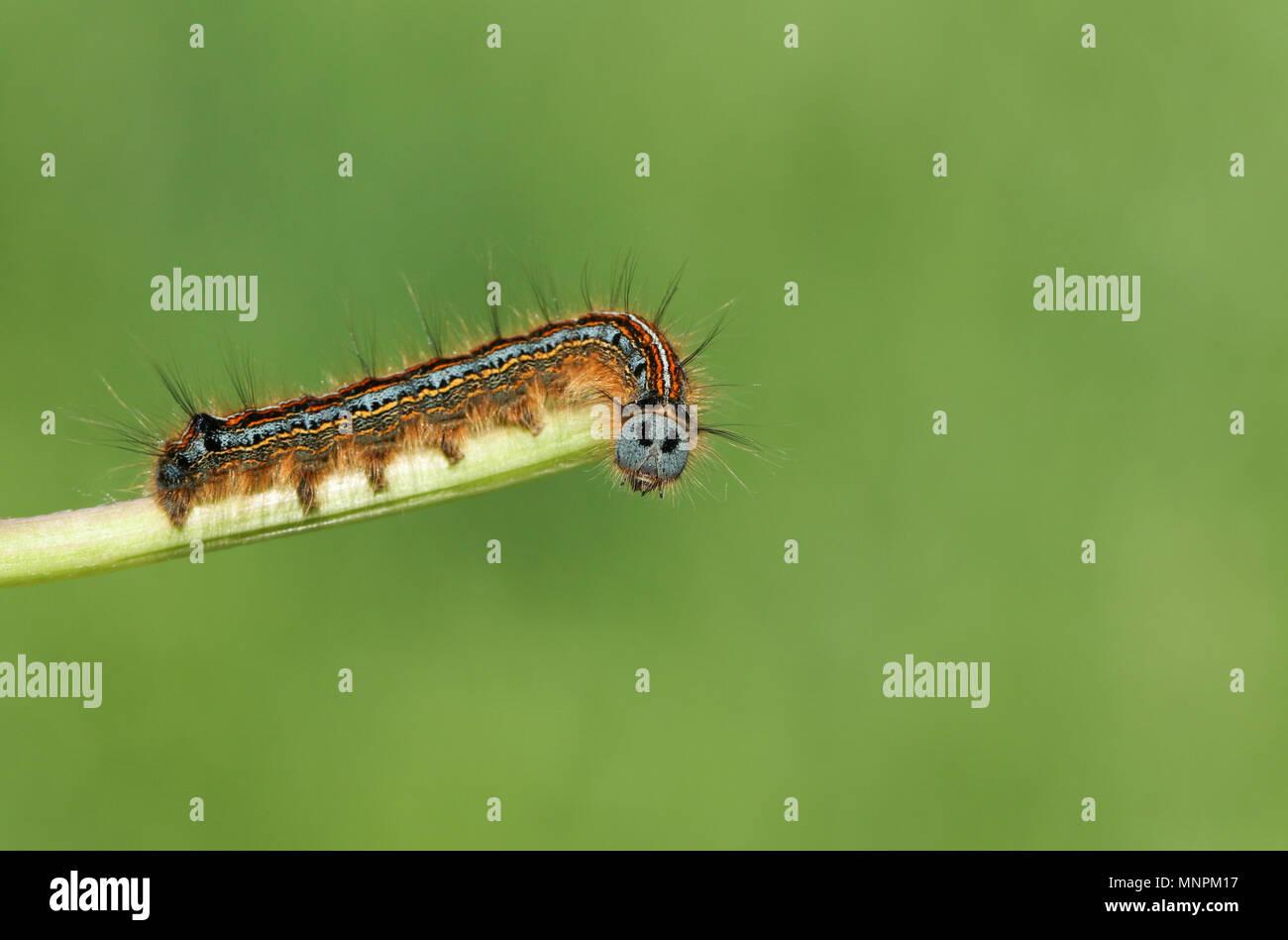 A stunning Lackey Moth Caterpillar  (Malacosoma neustria) on a plant stem. - Stock Image