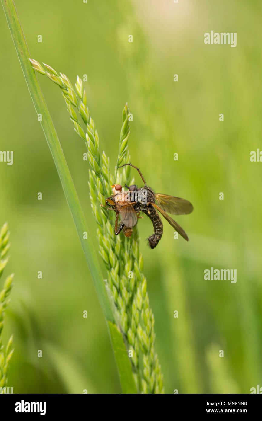 An empid fly, Empis tessellata, family empididae killing its captured prey with its sharp proboscis. North Dorset England UK GB - Stock Image
