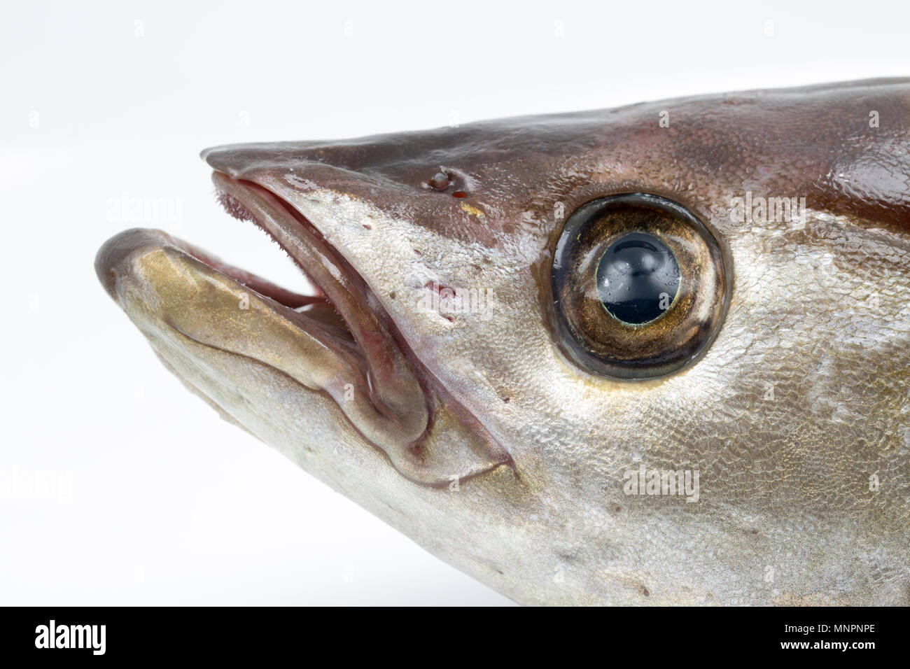 The head of a pollack, Pollachius pollachius, that was caught lure fishing from a private boat in the English Channel off the Dorset Coast which is pa - Stock Image