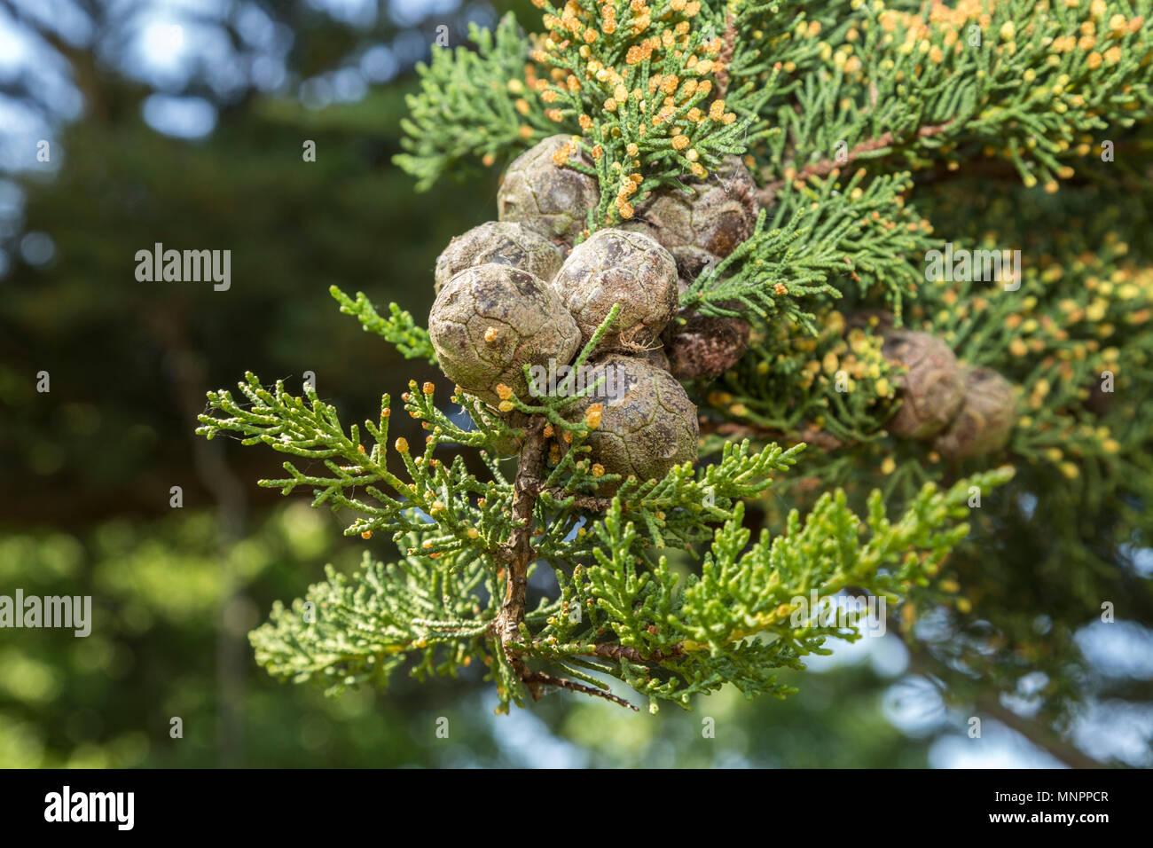 Monterey cypress (Cupressus macrocarpa) cones,reproductive  fruit of the tree - Stock Image