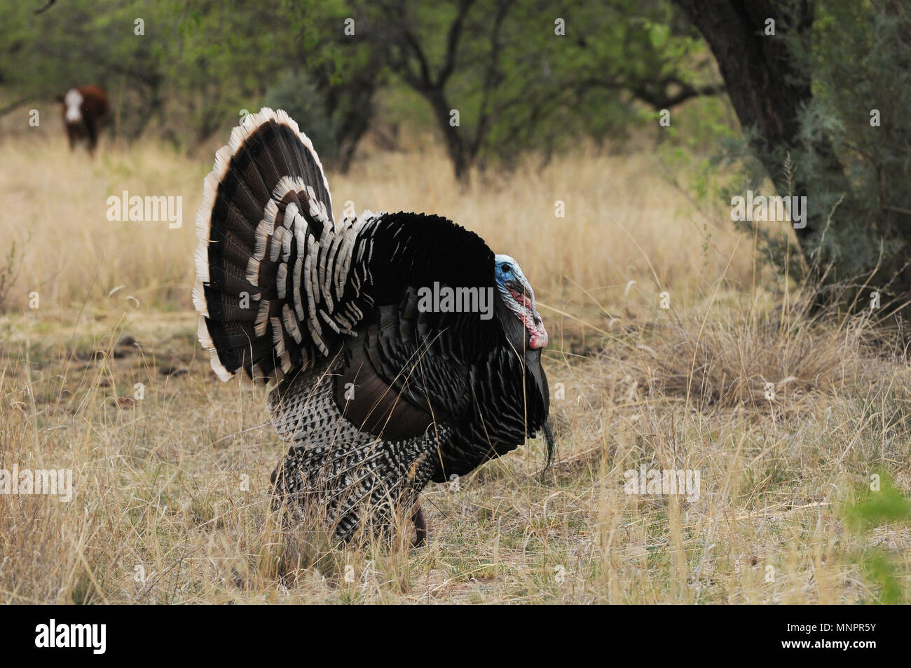 A male Gould's wild turkey, (M. g. mexican, and several females roam the grasslands in the foothills of the Santa Rita Mountains, Coronado National Fo Stock Photo