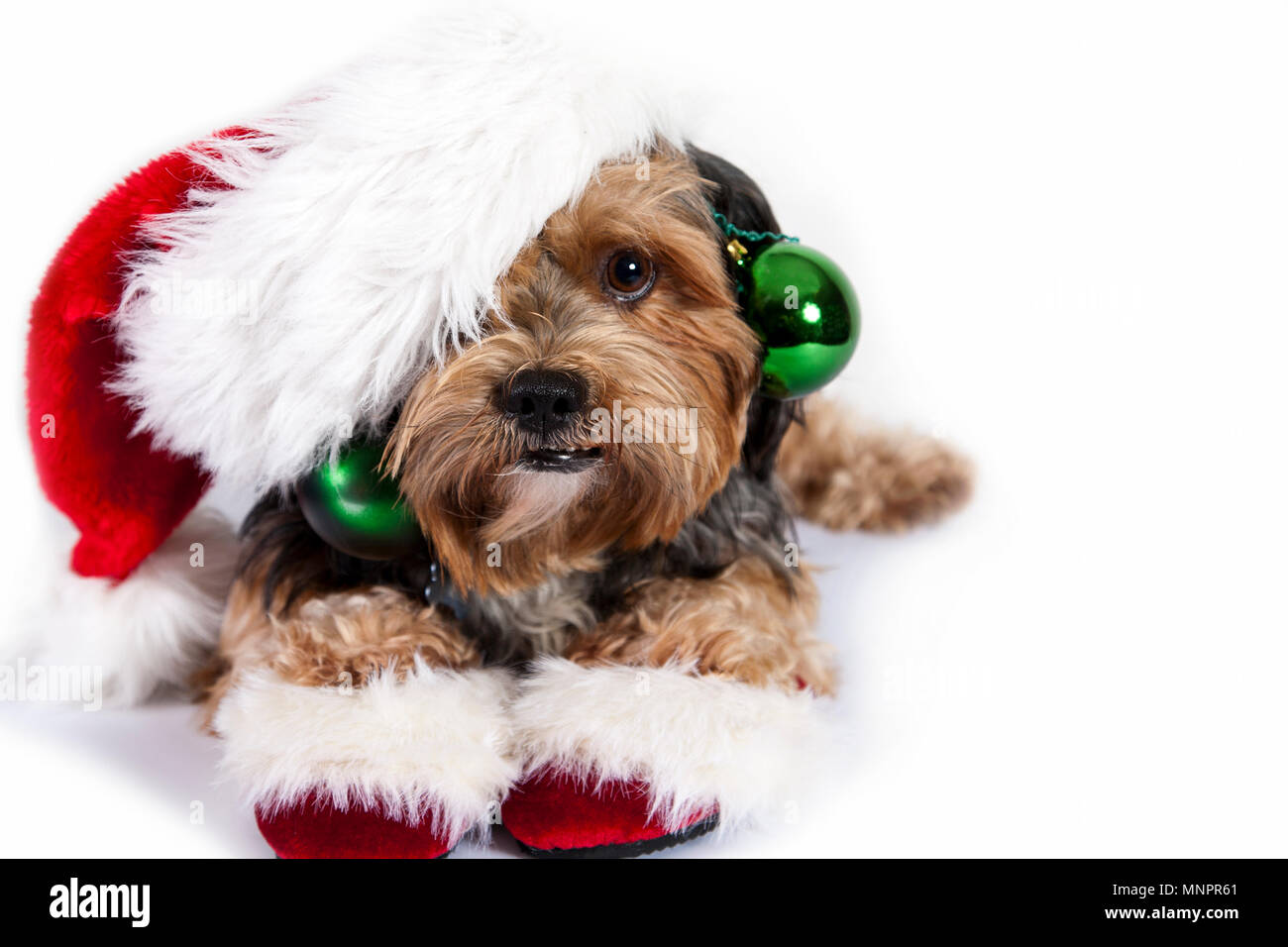 A sweet brown and black dog decorated with a Santa hat and slippers and green holiday ornaments in studio - Stock Image