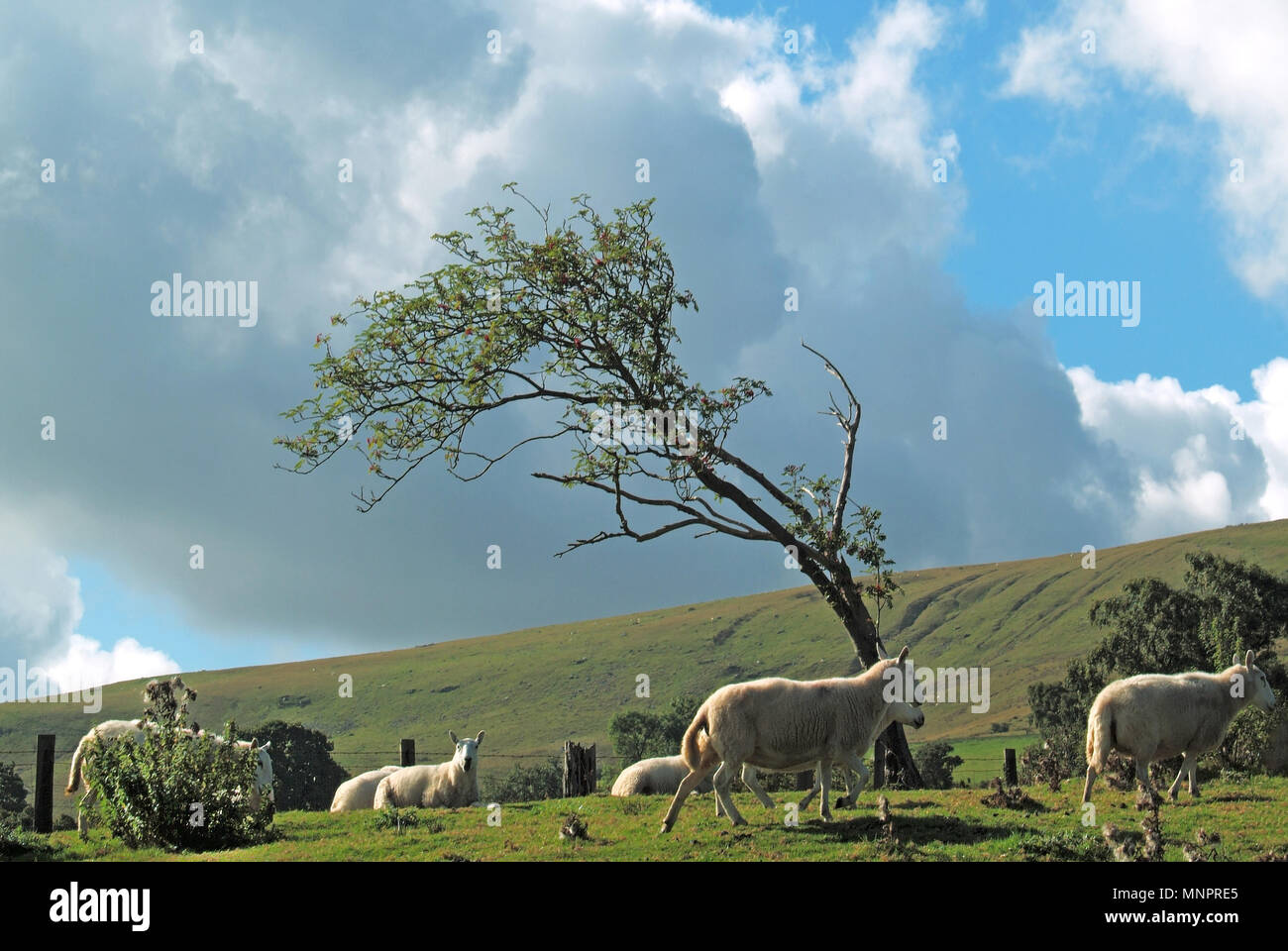Windswept isolated bent & distorted tree on top of bleak windy hill in Brecon Beacons National Park with sheep grazing in the wind South Wales UK - Stock Image