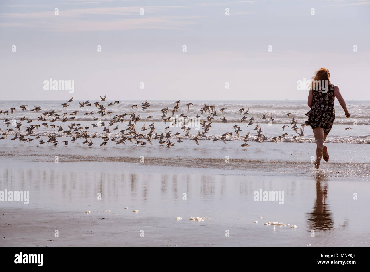 Woman running on wet sand chasing Sandpiper birds, having fun playing at the beach. - Stock Image