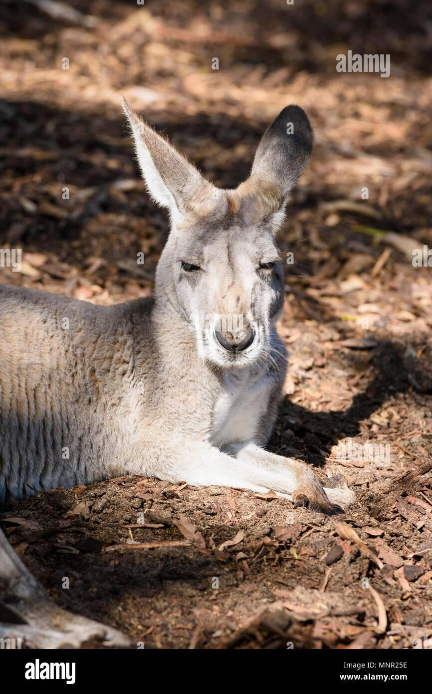 Kangaroo sleeping in the sun at Perth Zoo, South Perth, Western Australia - Stock Image