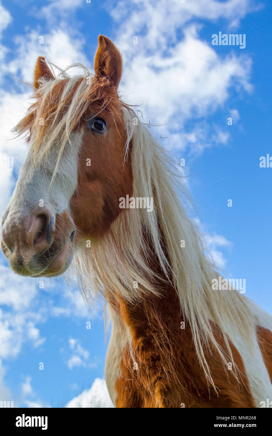 horse grazing in field - Stock Image