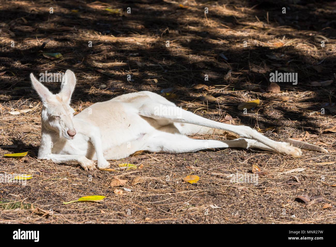 Albino Kangaroo sleeping in the sun at Perth Zoo, South Perth, Western Australia - Stock Image