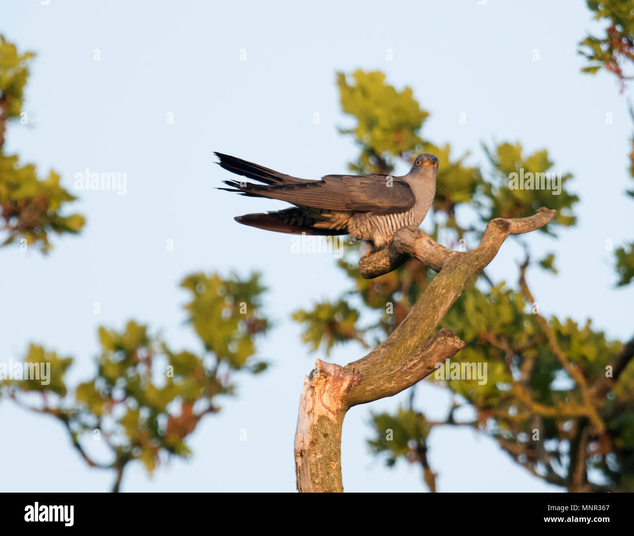 Agrey male Cuckoo (Cuculus canorus) perched in tree at sunrise, Oxfordshire - Stock Image