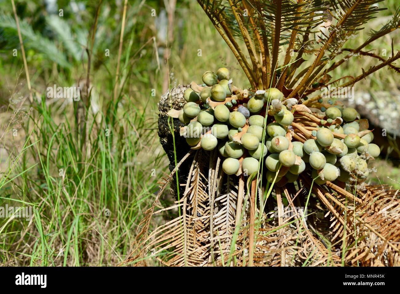Cycad seeds on a cycas media, Jourama Falls, Bruce Hwy, Yuruga QLD, Australia Stock Photo