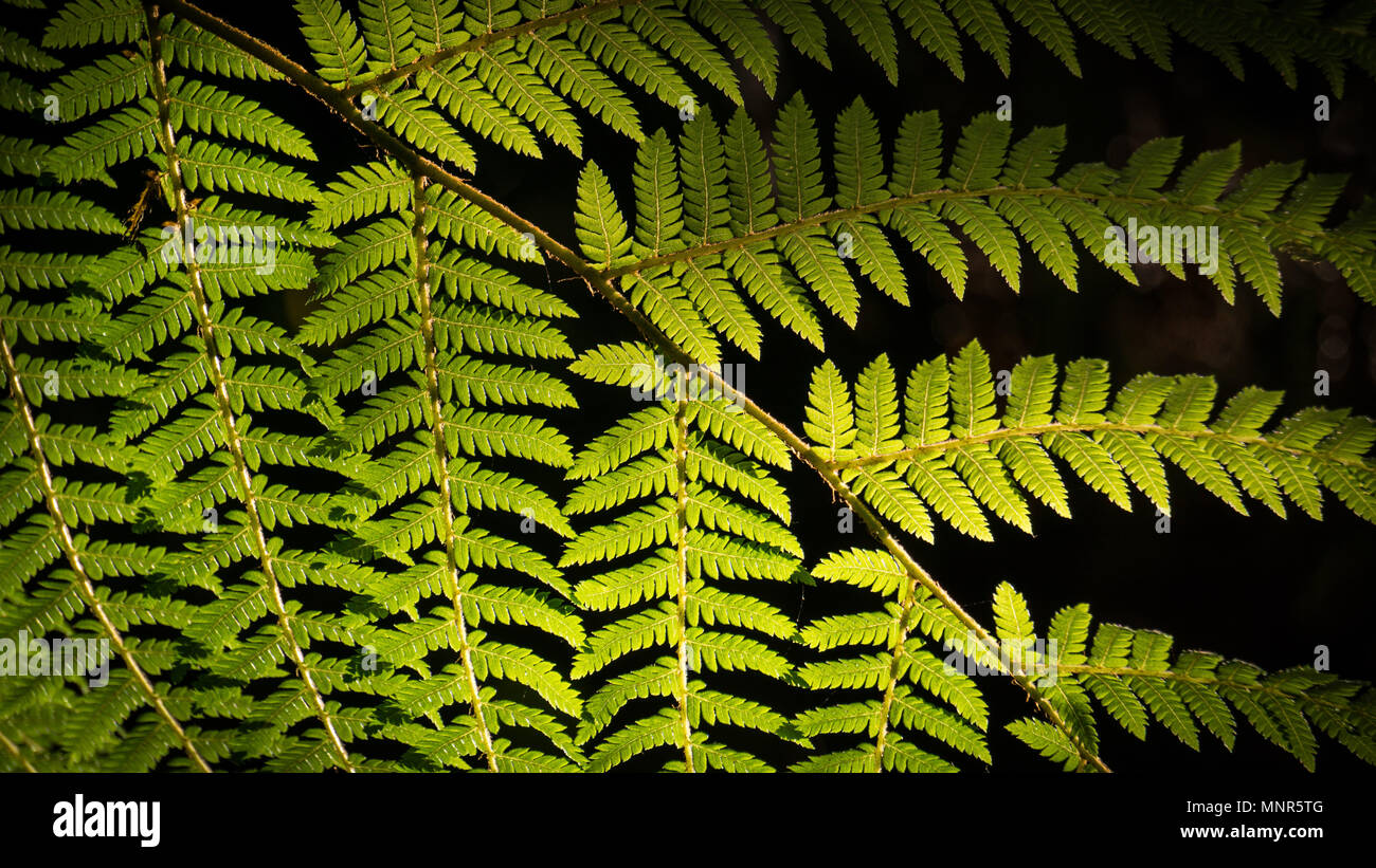 Early Morning light shining through a fern leaf - Stock Image