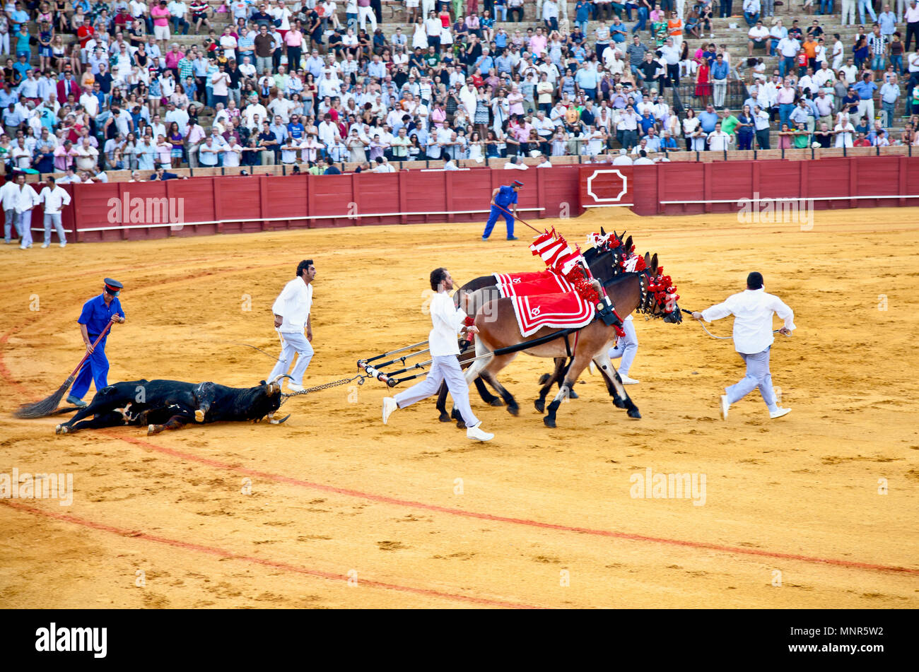 SEVILLE,SPAIN-SEP 11:Dead bull is being dragged out after a bullfight at Real Maestranza de Caballeria,Sep 11, 2011, Seville, Spain.Royal Cavalry is I - Stock Image