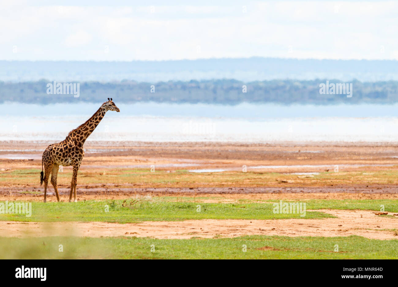 Giraffe in Lake Manyara national park, Tanzania - Stock Image