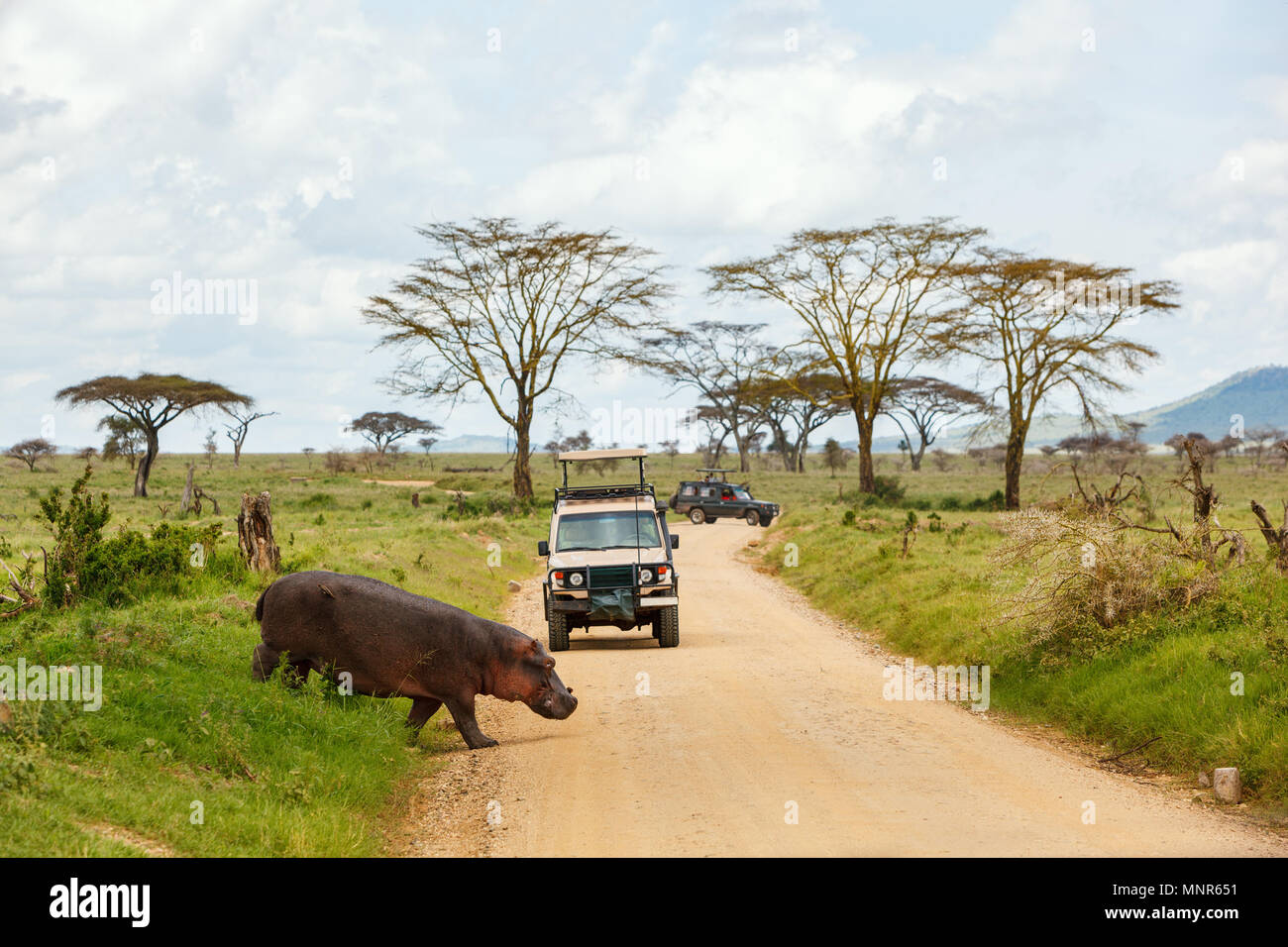 Safari cars on game drive with hippo crossing road - Stock Image