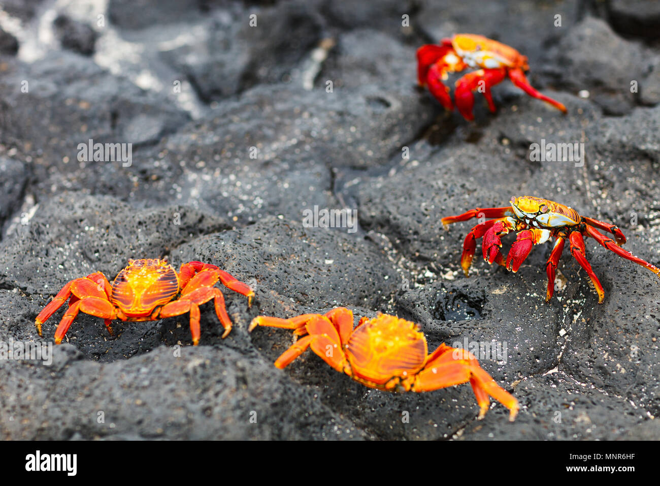Sally lightfoot crabs on a black lava rock - Stock Image