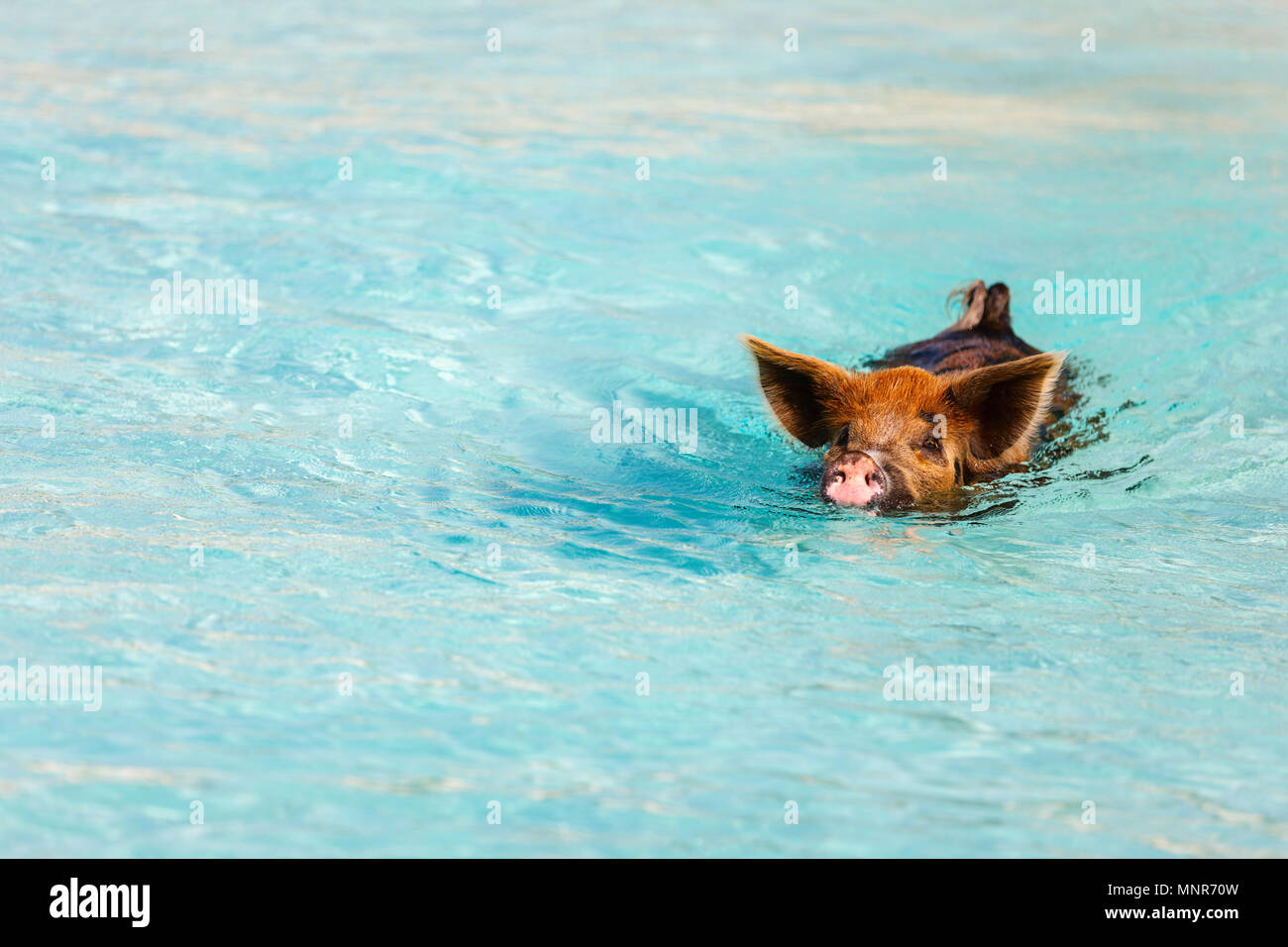 Pig swimming in a water near island of Exuma Bahamas - Stock Image