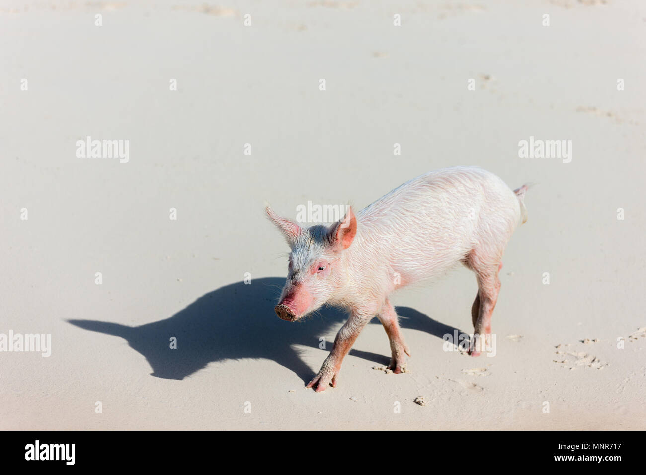 Little piglet at Exuma beach Bahamas - Stock Image