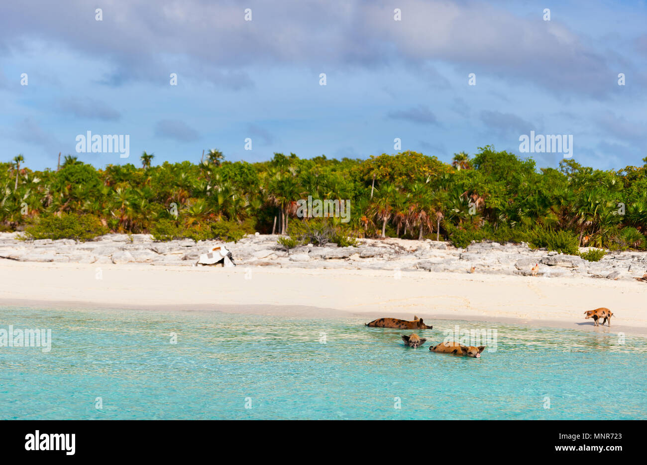 Tropical beach with swimming pigs of the Bahamas in the Out