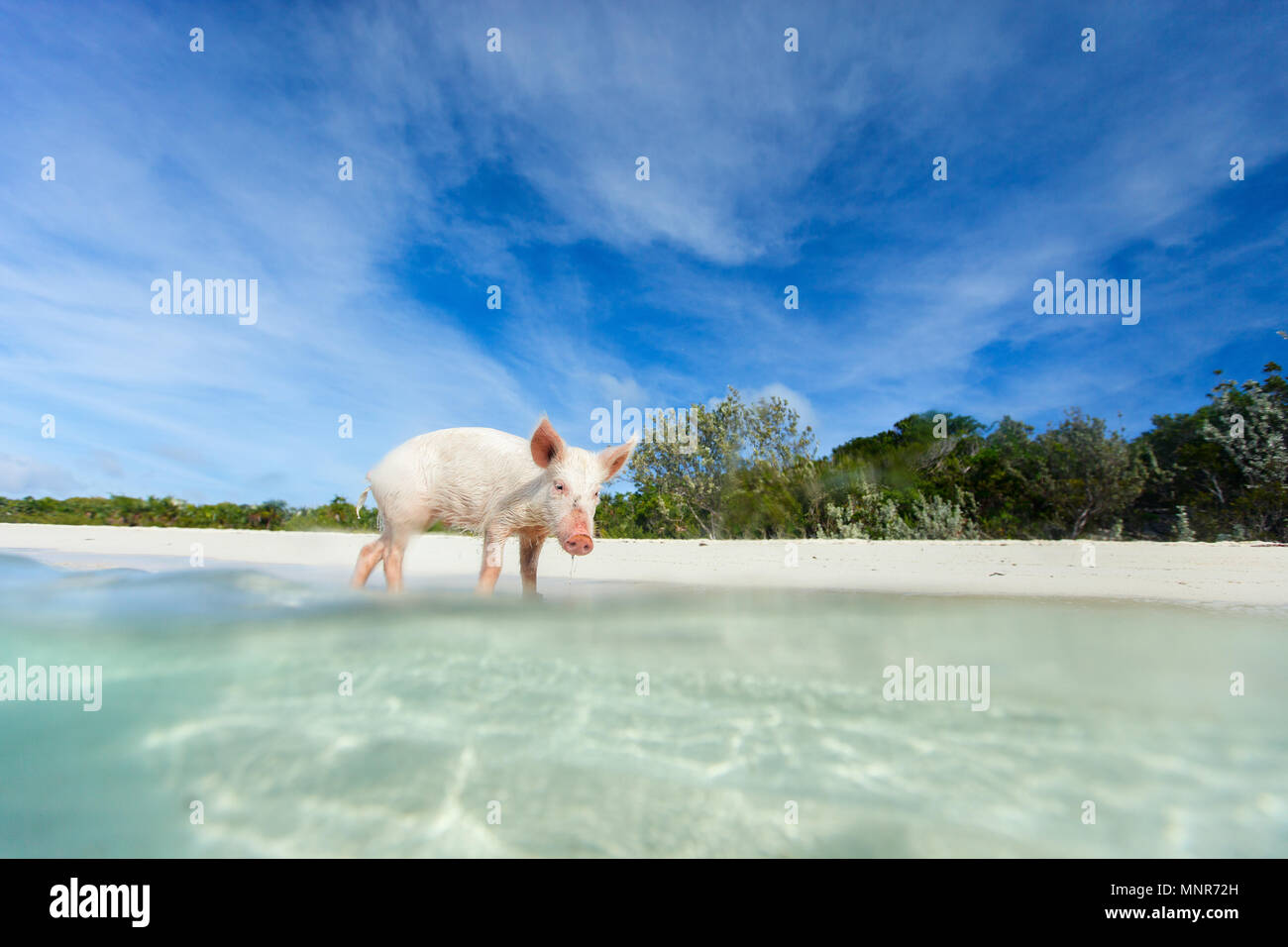 Little piglet in a water at beach on Exuma island Bahamas - Stock Image