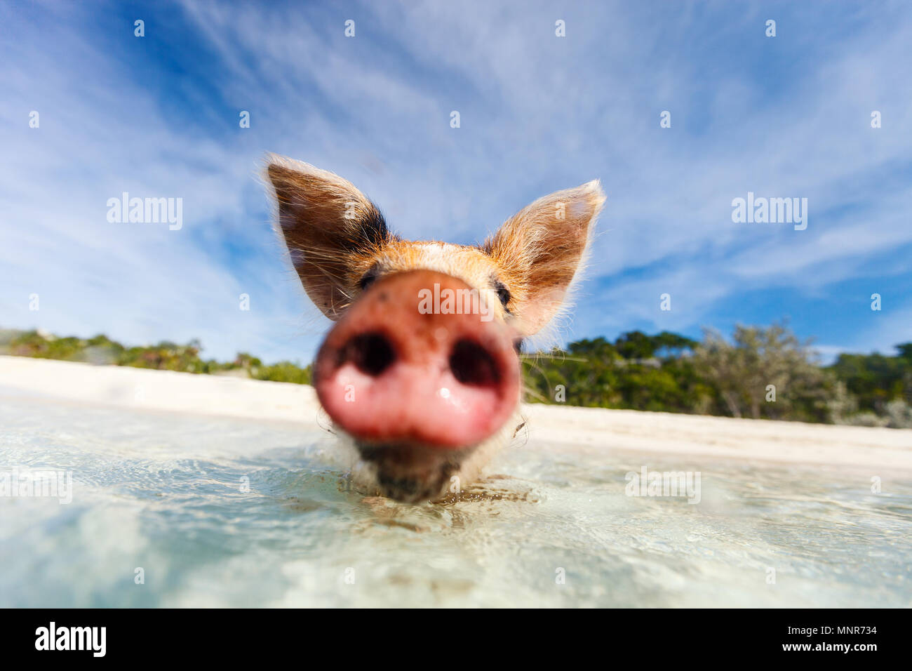 Little piglet in a water at beach on Exuma Bahamas - Stock Image