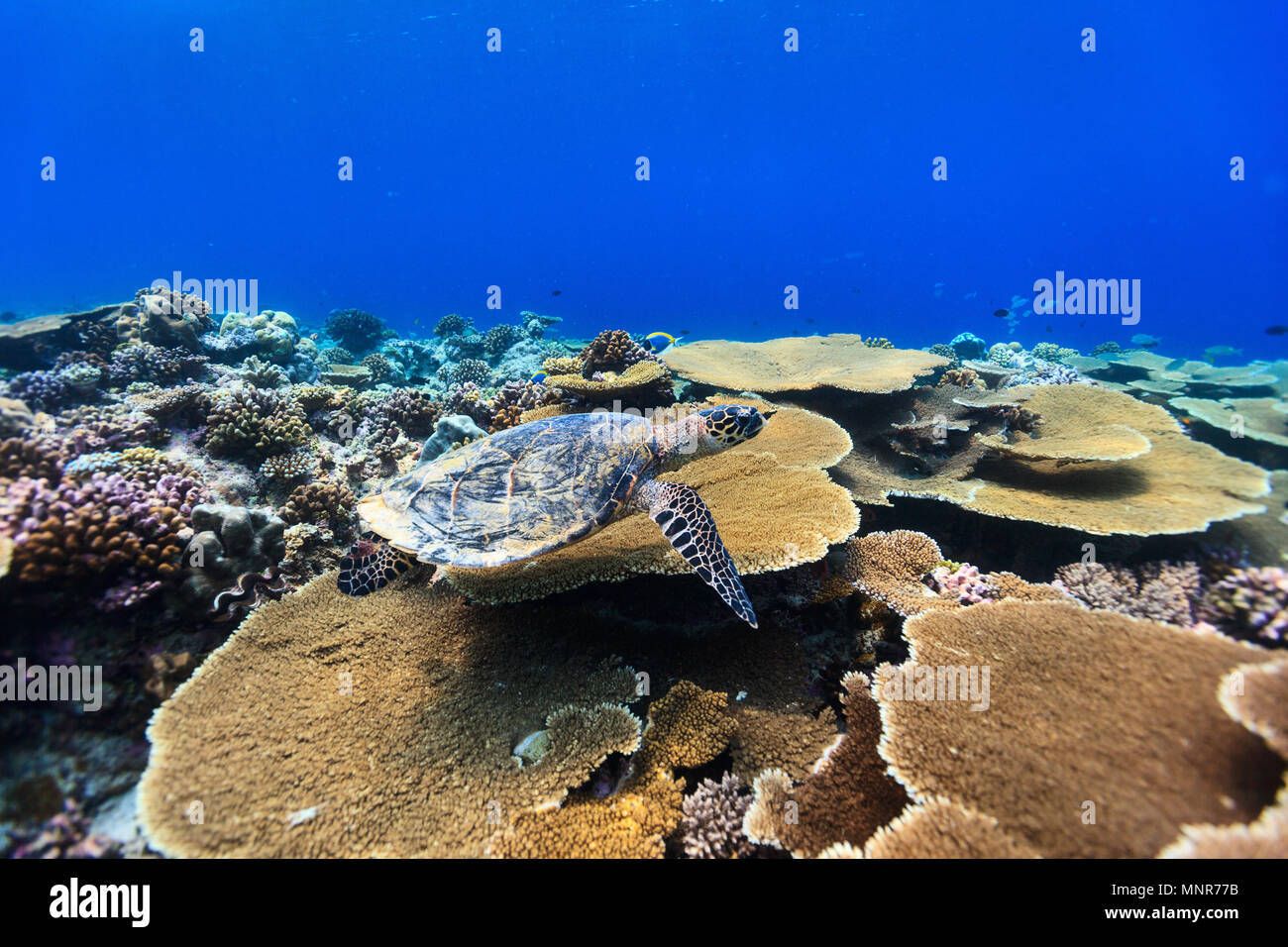 Hawksbill turtle swimming underwater among the coral reef - Stock Image