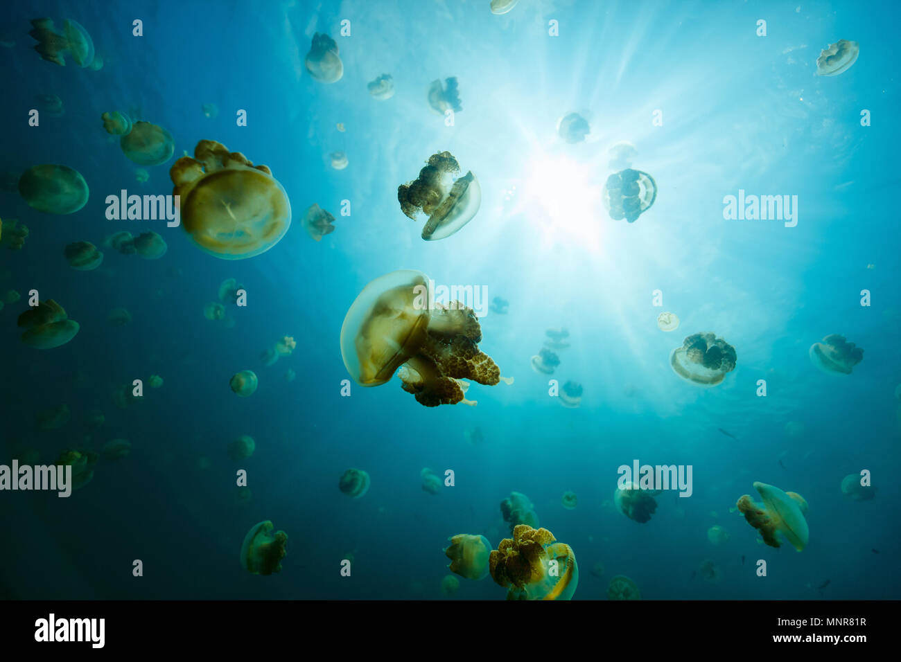 Underwater photo of endemic golden jellyfish in lake at Palau. Snorkeling in Jellyfish Lake is a popular activity for tourists to Palau. Stock Photo