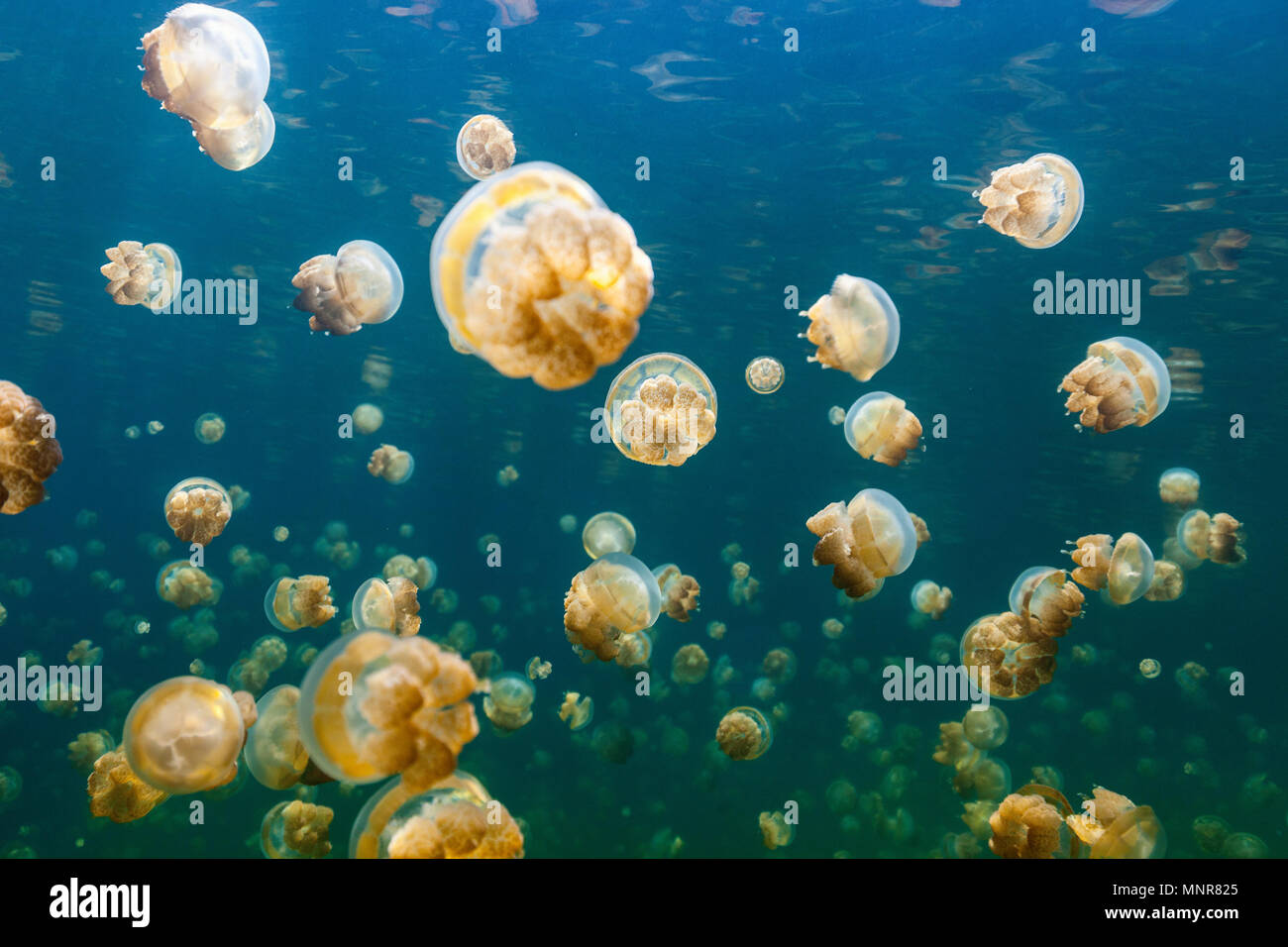 Underwater photo of endemic golden jellyfish in lake at Palau. Snorkeling in Jellyfish Lake is a popular activity for tourists to Palau. - Stock Image