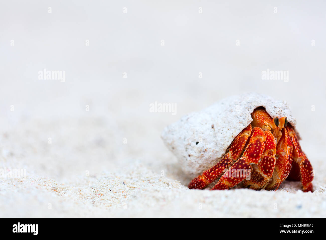 Hermit crab on white sand beach with copy space great for ad - Stock Image