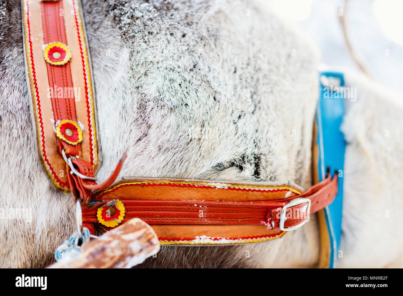 Reindeer safari in Finnish Lapland closeup of leather belt Stock Photo