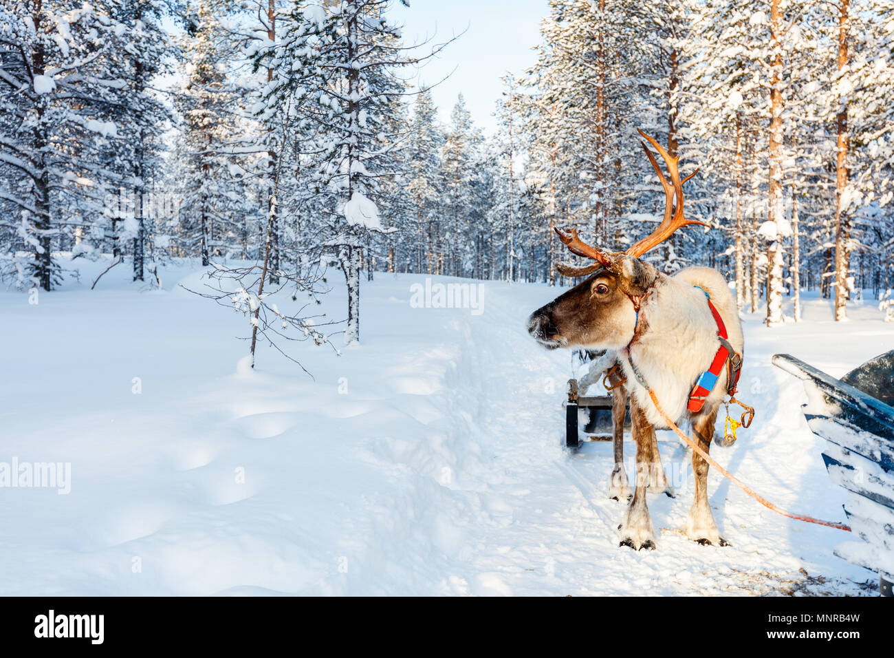 Reindeer in a winter forest in Finnish Lapland - Stock Image