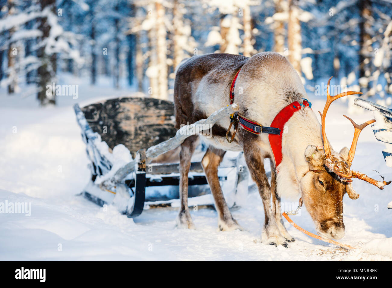 Reindeers in a winter forest in Finnish Lapland - Stock Image