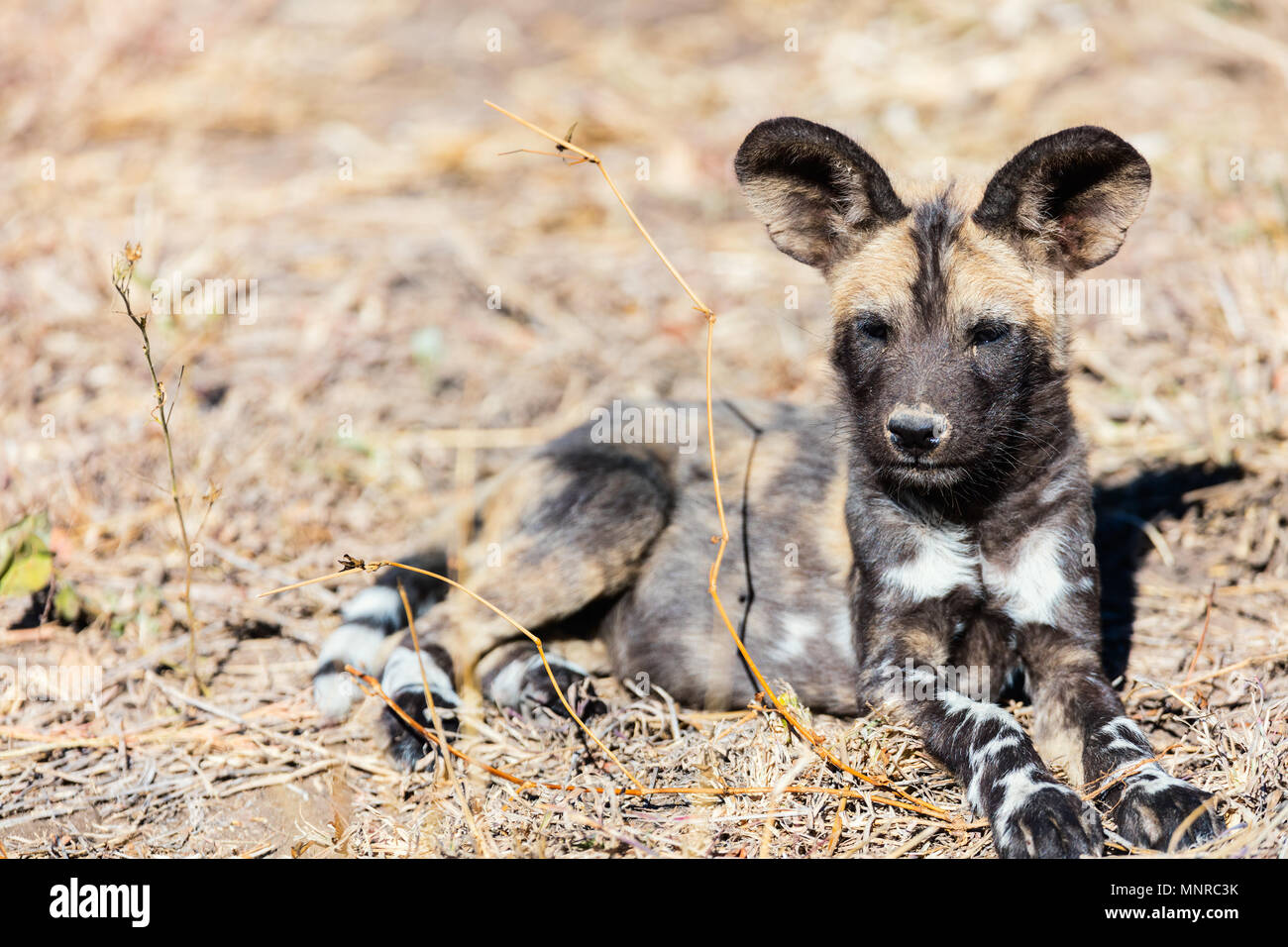 Endangered animal African wild dog puppy in safari park in South Africa - Stock Image
