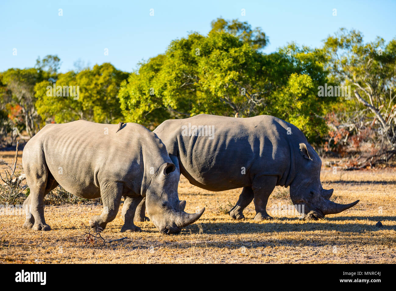 White rhinos grazing in an open field in South Africa - Stock Image