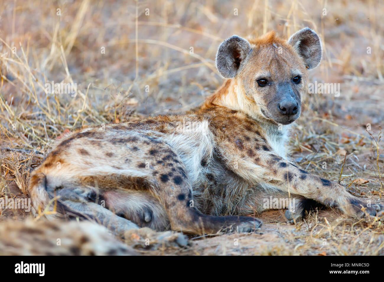 Hyena in safari park in South Africa Stock Photo