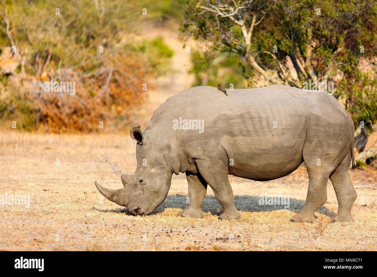 White rhino grazing in an open field in South Africa - Stock Image