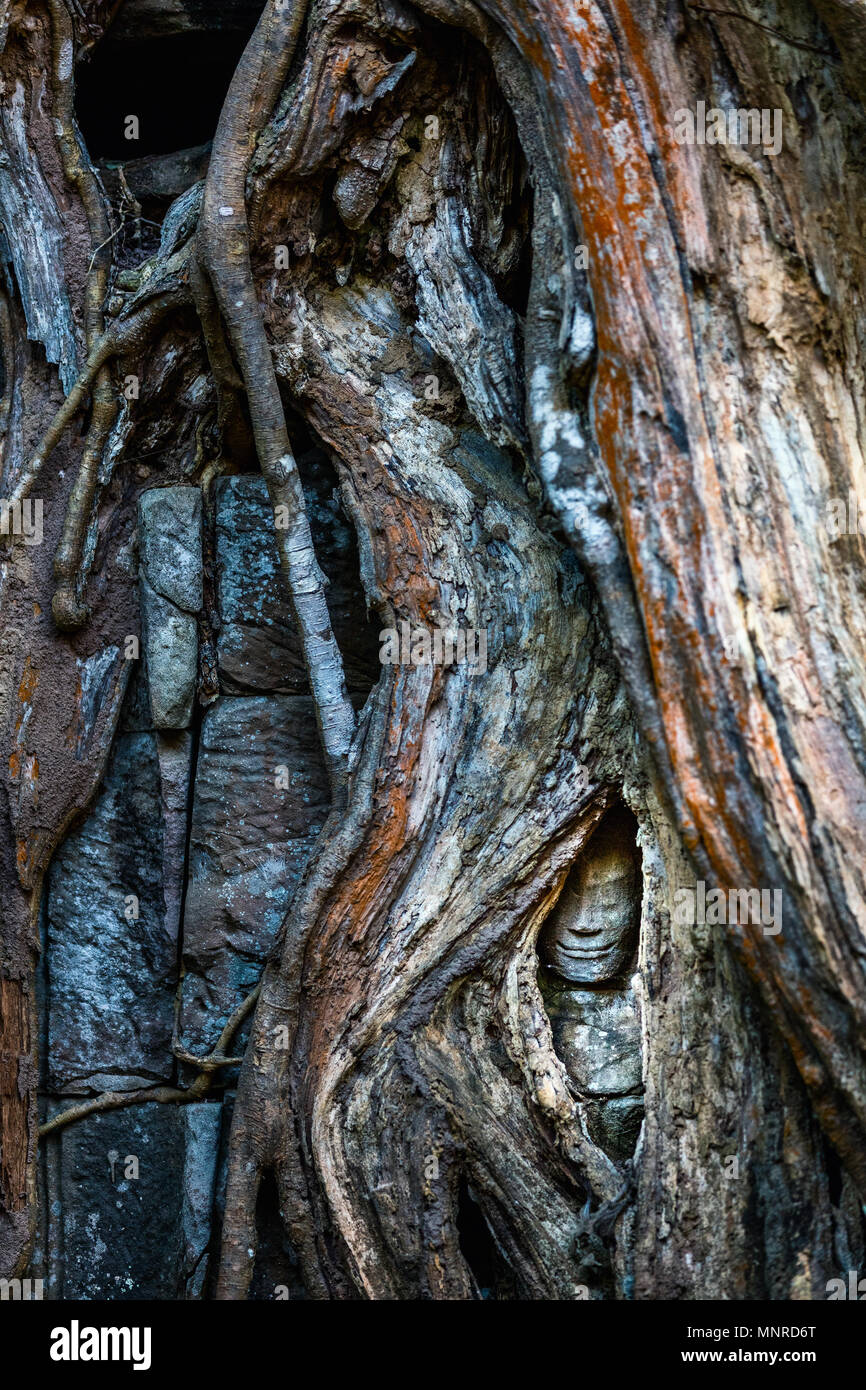 Ancient stone statue hidden in tree roots in Angkor Archeological area in Cambodia - Stock Image
