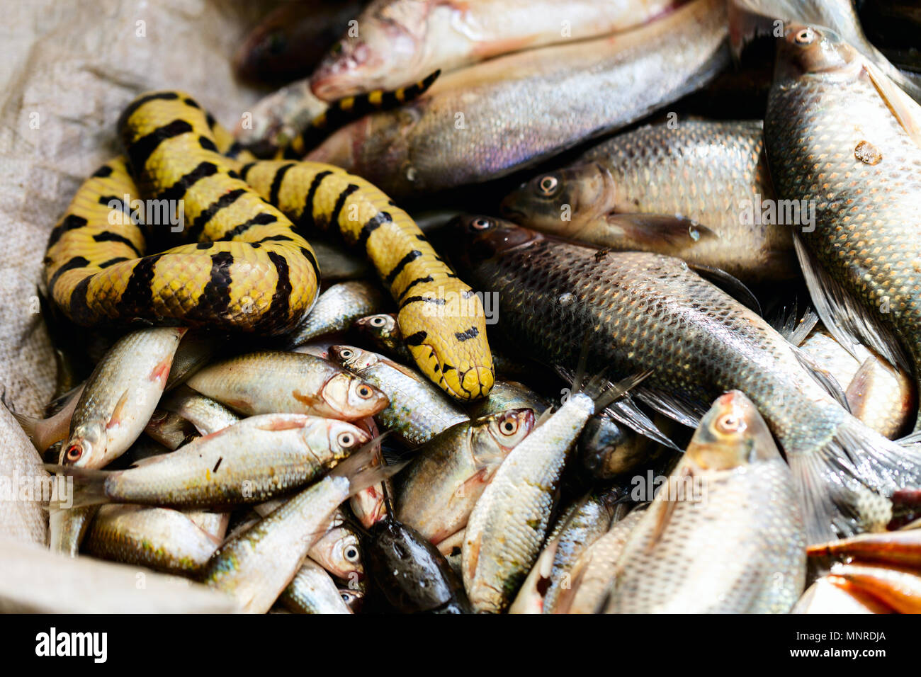 Fresh fish at seafood market in Cambodia - Stock Image