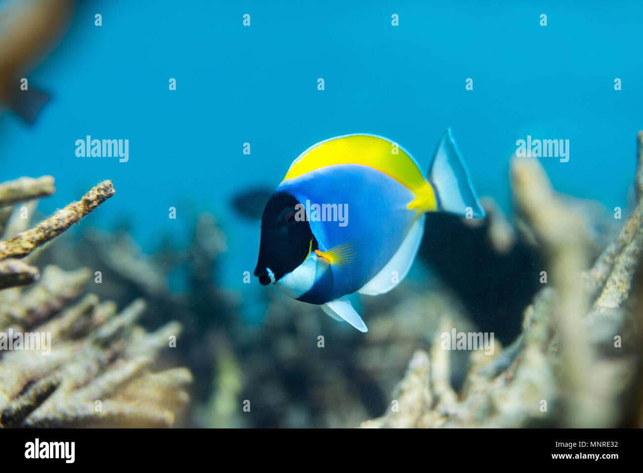 Beautiful colorful coral reef and tropical fish underwater in Maldives - Stock Image