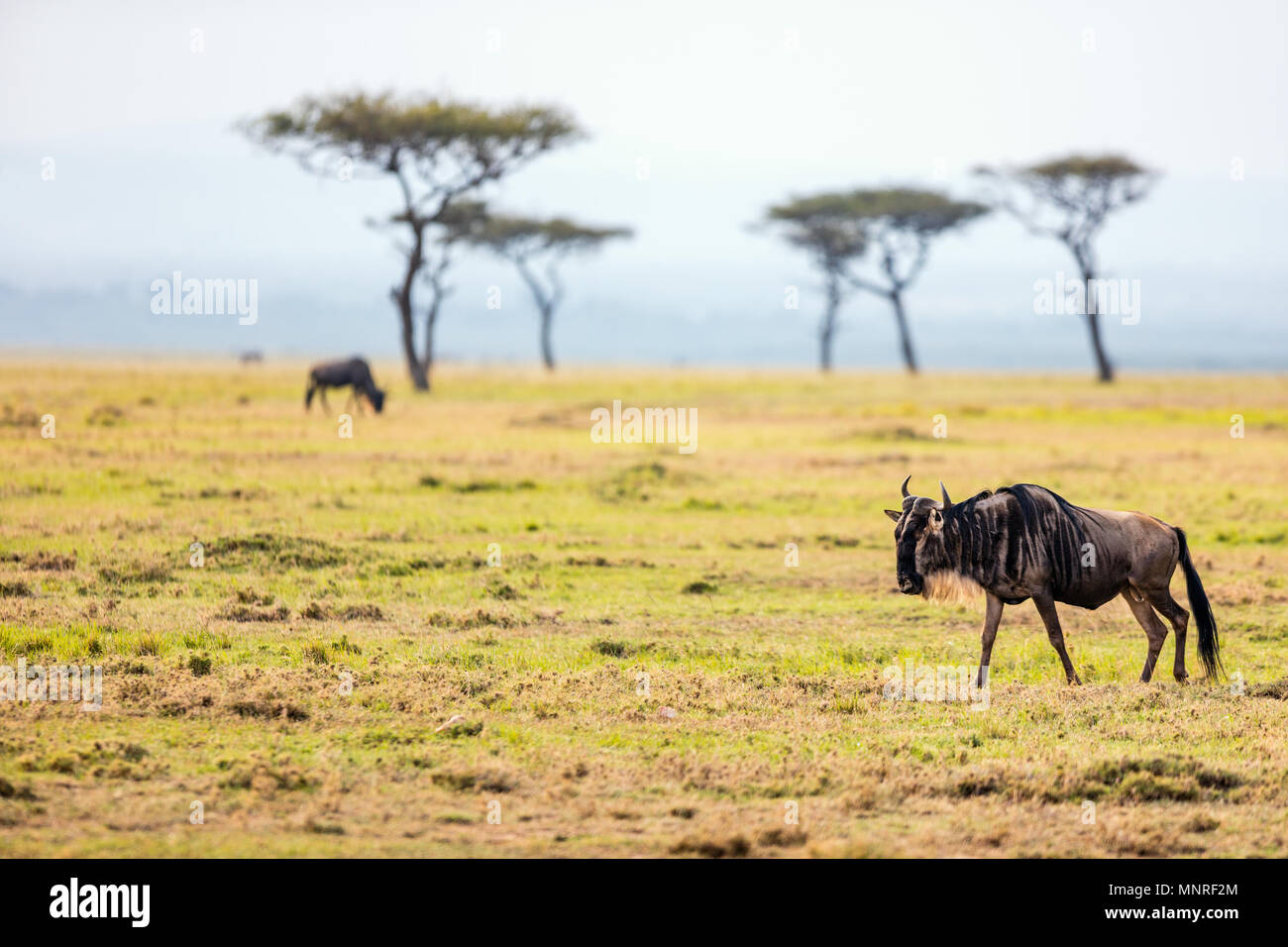 Wildebeests in Masai Mara National park in Kenya - Stock Image