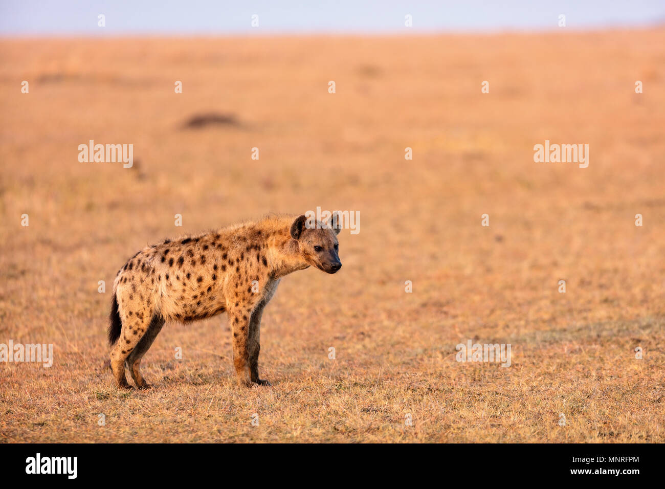 Hyena in safari park in Kenya - Stock Image